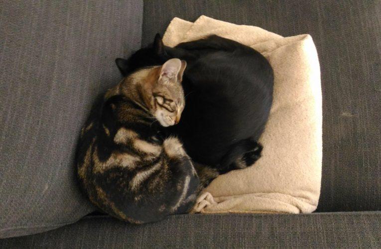 Els gats i els gossos no propaguen el coronavirus